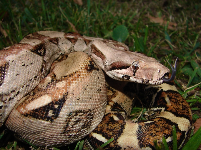 Boa Constrictor hour 4 HP