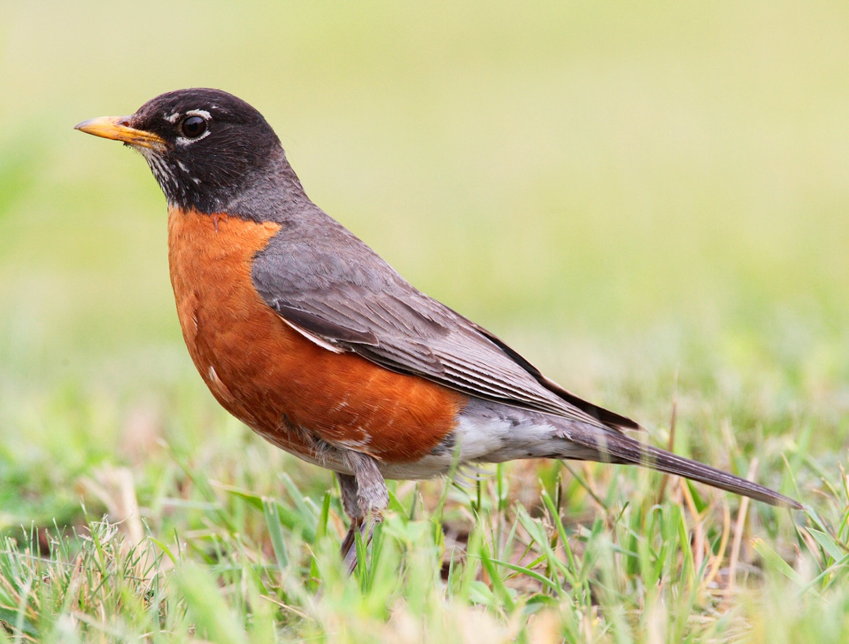 The robin is a very popular bird in North America. One of...