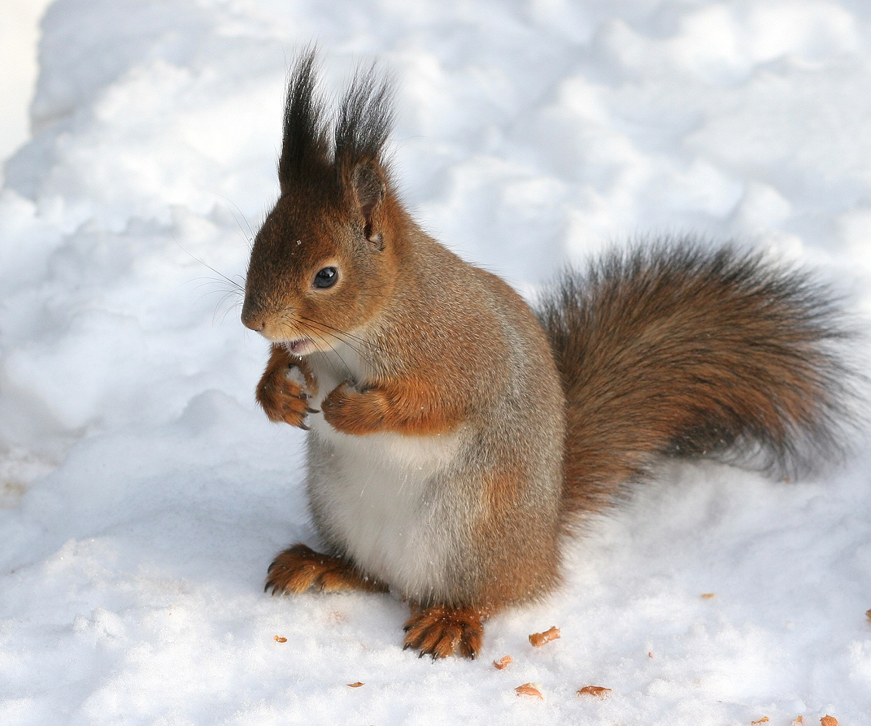 Red Squirrel for JJ
