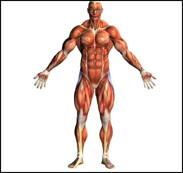 Real Facts About Muscle Building