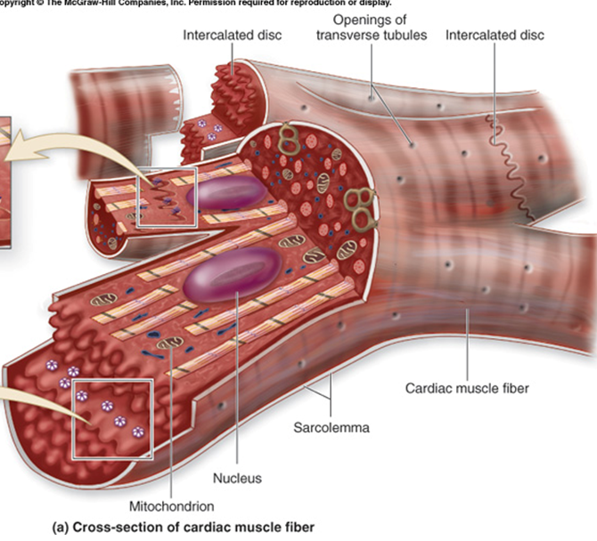 Cardiac Muscle Cell - Cole Sworski