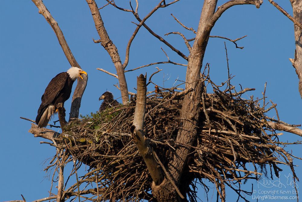 Bald Eagle's have a habitat in Colorado. Their nests can ...
