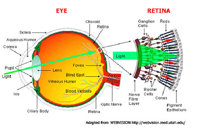 The Eye Has Two Light Sensitive Cells Called Rods And Con