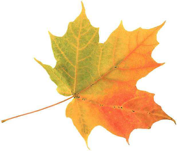A leaf is a plant's principal organ of photosynthesis, th...