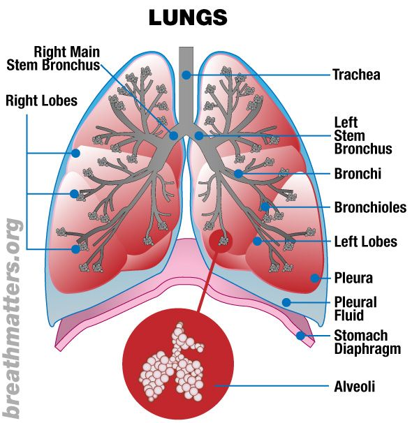 Lungs And Heart For Kids