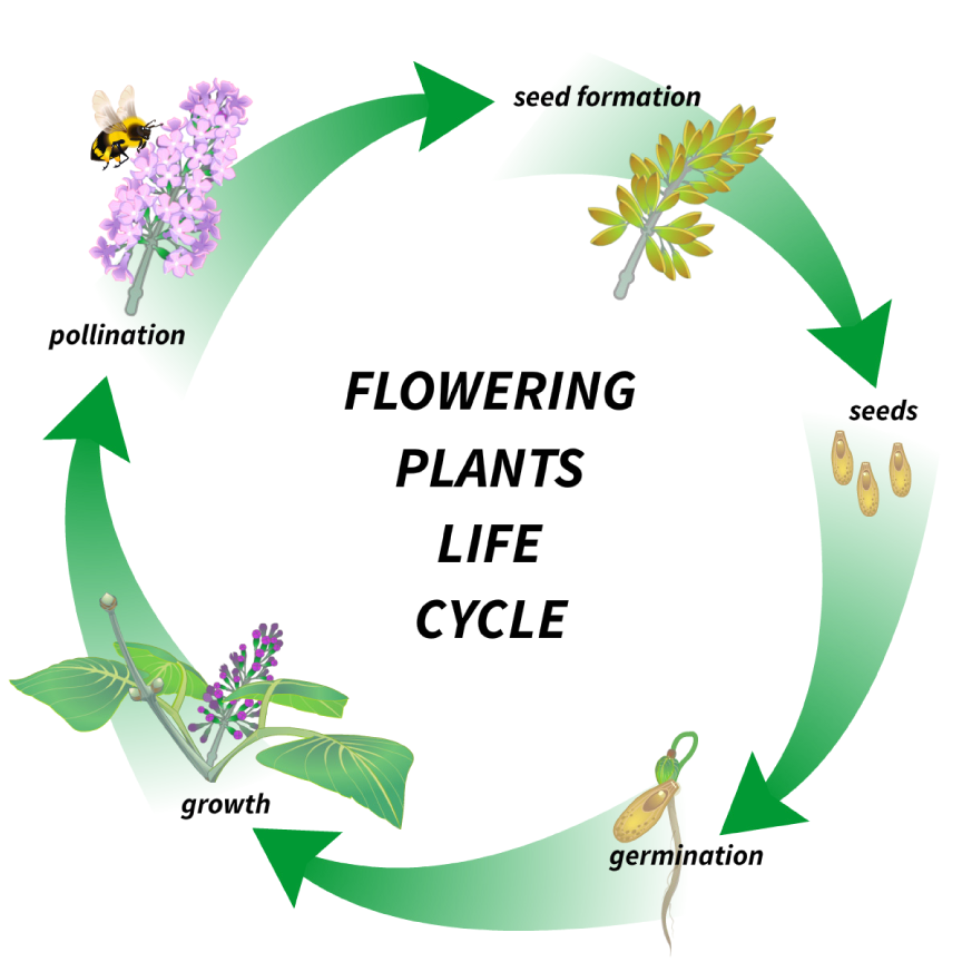 A Plant Life Cycle Has A Lot Features