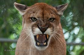 94e0fc8367e Endangered Florida Panther Caught On Video - Mossy Oak