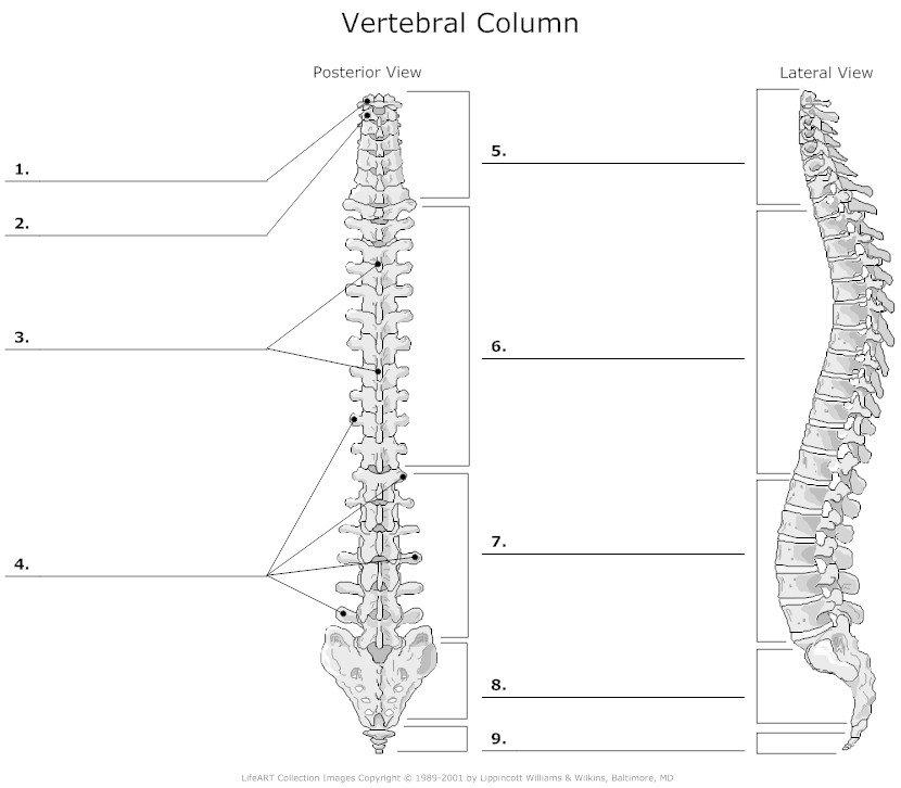 vertebral column bio 2. Black Bedroom Furniture Sets. Home Design Ideas