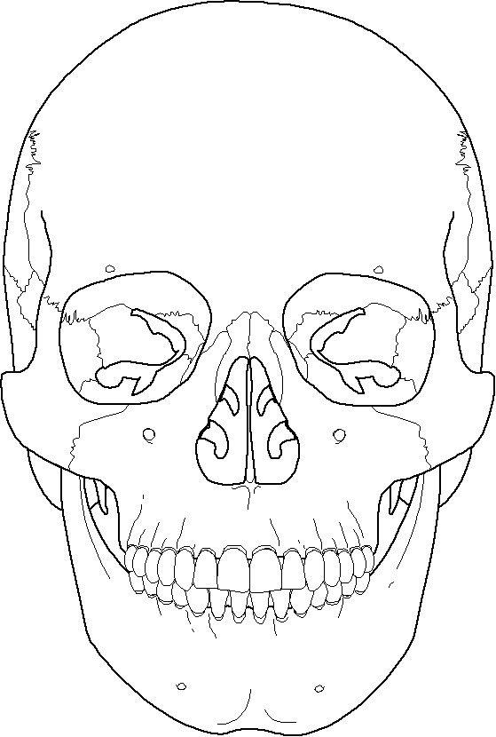 Frontal bone, coronal suture, Maxilla, mandible, Zygomati...