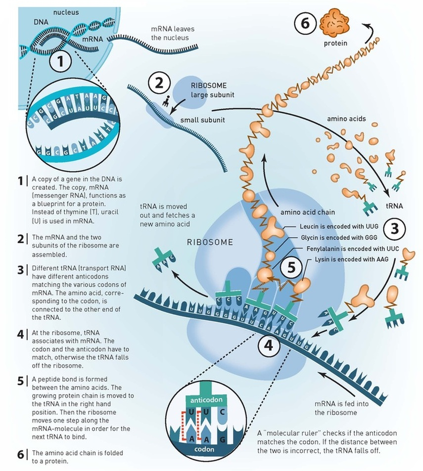 DNA-Replication, Transcription, & Translation.