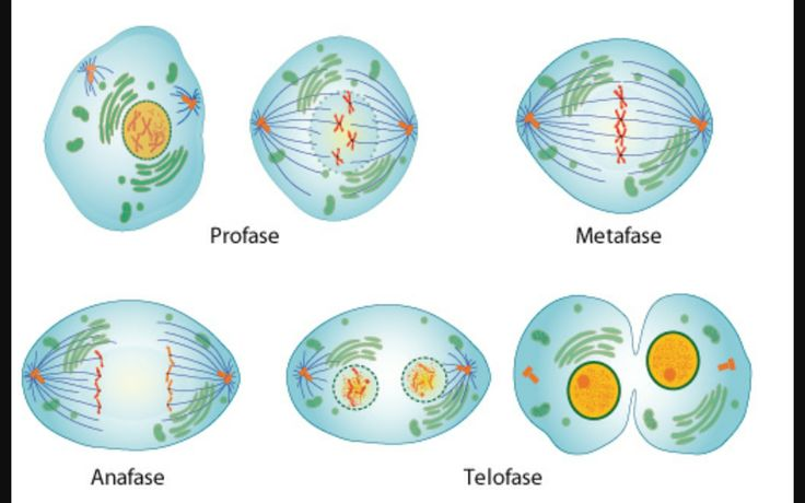 The process of mitosis.
