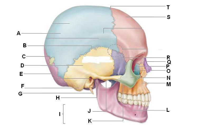 Axial Skeleton: Functions and Anatomy - Study.com