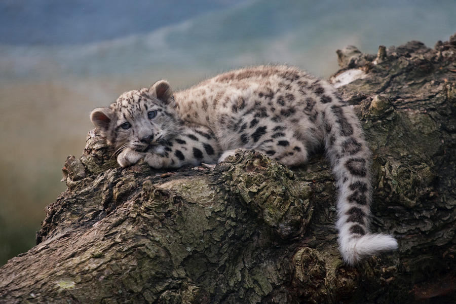 Snow Leopard Intelligence