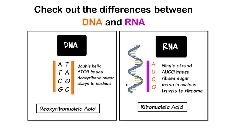 diagram of ribose deoxy dna  rna  double  single  ribose  deoxy ribose sugar  nuc  dna  rna  double  single  ribose  deoxy