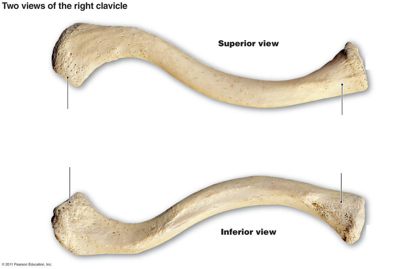 Sternal end