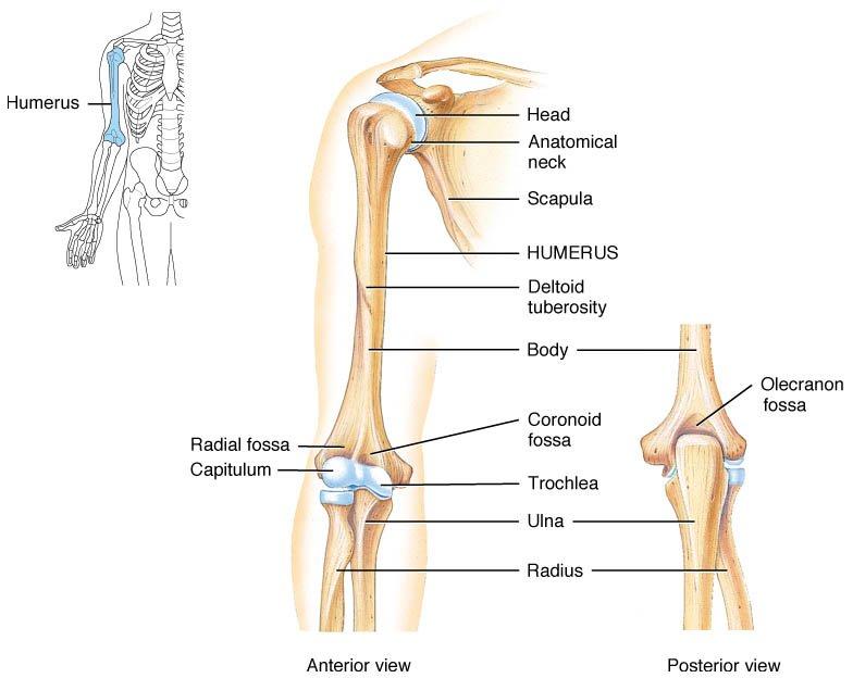 Humerus Upper Arm Bone Head Articulates With Pectoral G