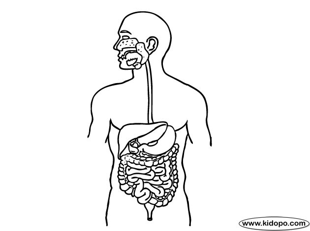 Mouth: there the mechanical digestion occurs, cutting cru...