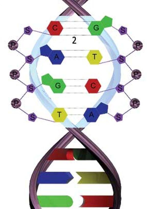 DNA şekeri; Deoksiriboz, Fosfat Grubu, Sitozin, Guanin, A...