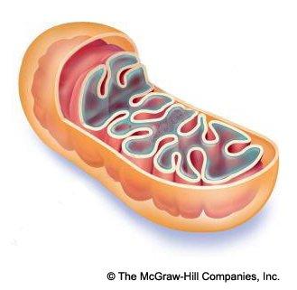 Scaletowidth on Cellular Respiration Diagram Mitochondria