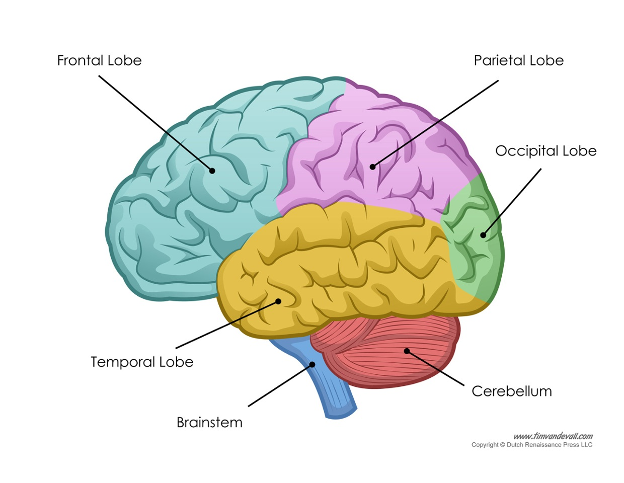 The frontal lobe is the last part of the brain to develop...