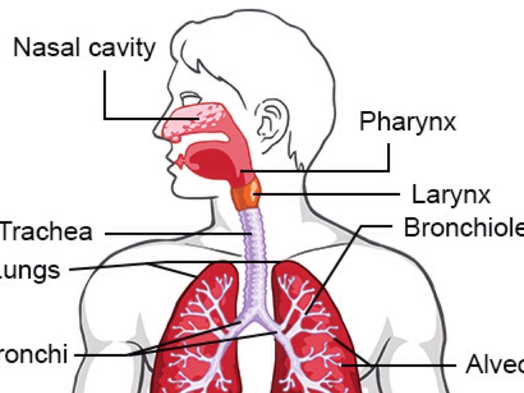 The Respiratory System By Candi Ramirez  1  12  17  4th Period
