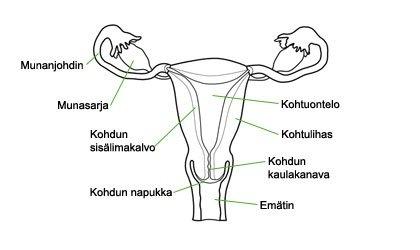 Naisen Sukuelimet