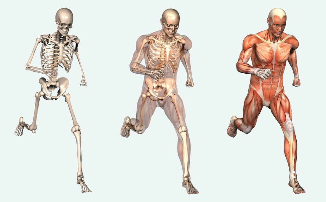 The Muscular And Skeletal System