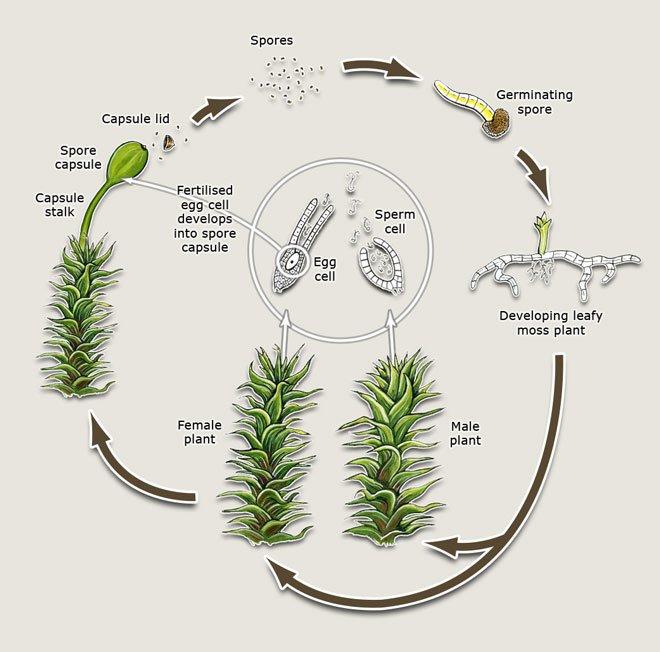Remix Of  U0026quot Moss Life Cycle U0026quot