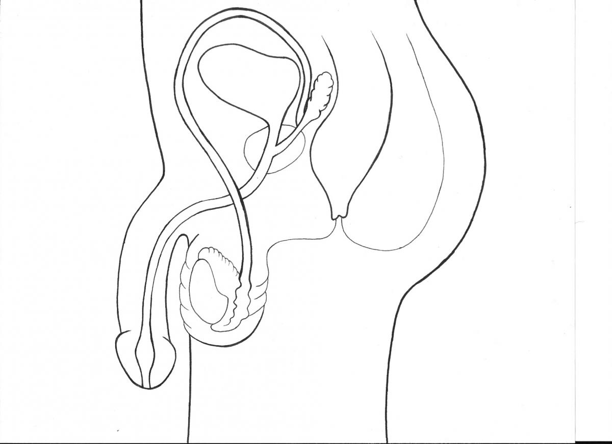 penis  the organ through which both semen and urine leave