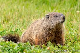 The prairie dog is also known as the woodchuck or whistle...