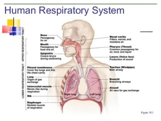 respiratory system compared to circulatory system - thinglink, Cephalic Vein