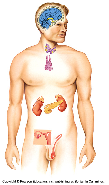 Endocrine System - ThingLink