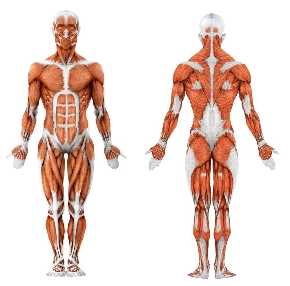 мышцы при фитнесе