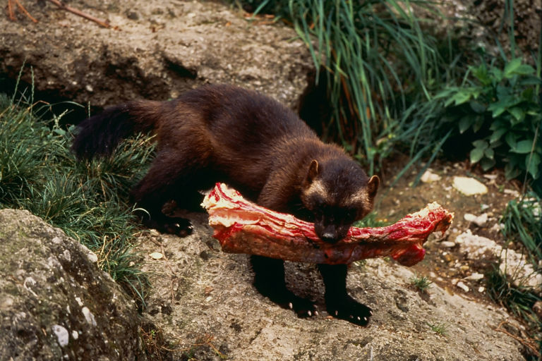 「Wolverine animal food」の画像検索結果
