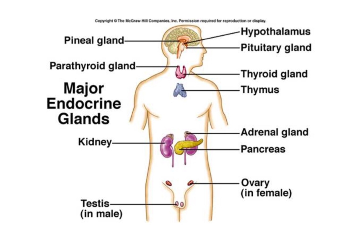 Endocrine Glands - ThingLink