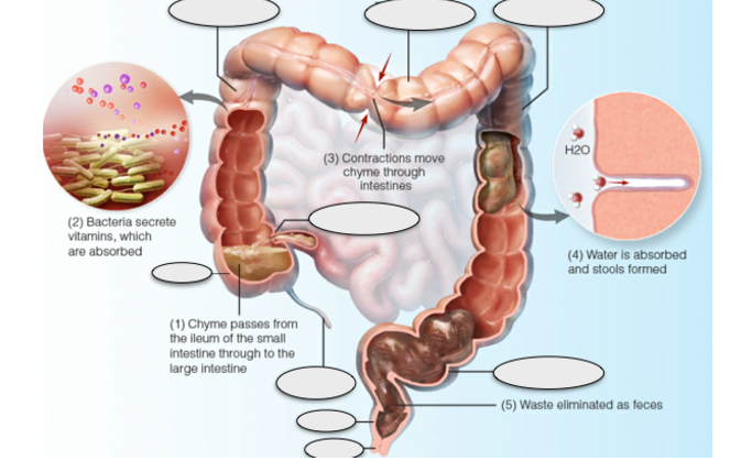 Ascending colon, transverse colon, descending colon, appe...