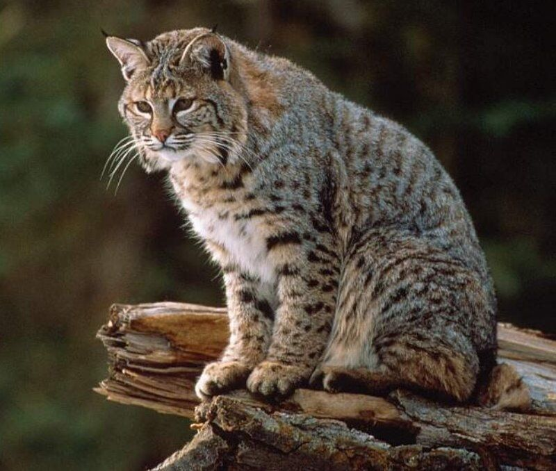 Do Bobcats Breed With Domestic Cats