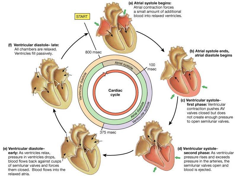 Srcani Ciklus