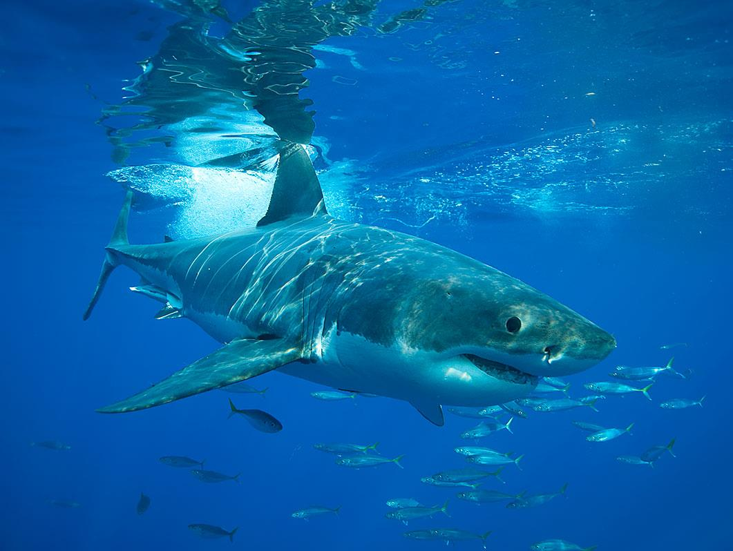 I wonder why great white sharks cannot survive in aquariums