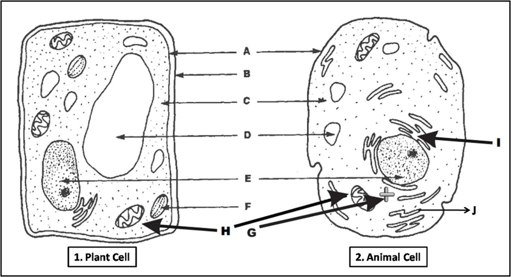 Plant and Animal Cell Organelles