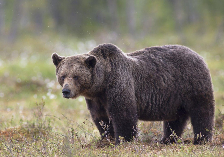Karhun Elinikä