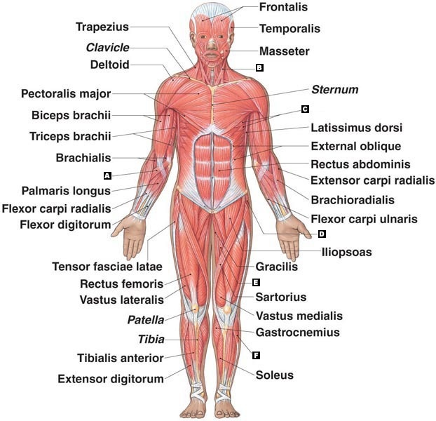 hayden s: the muscular system - thinglink, Human Body