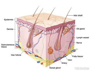 hair , nail diagram, skin cells, different type of tissue